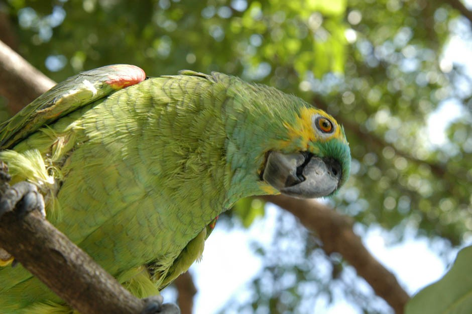 Justiça do DF decide que papagaio domesticado há mais de 20 anos deve permanecer com tutora