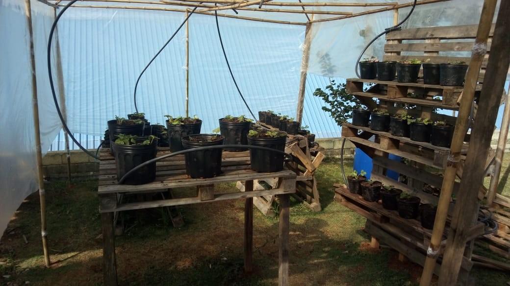 50 vasos com mudas de morango foram distribuídos pela estufa (Foto: João de Souza Neto/Arquivo Pessoal)