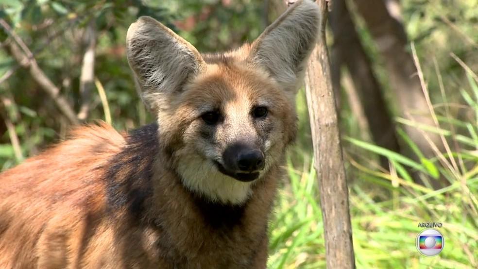 Lobo-guará, animal que vai estampar as novas notas de R$ 200 — Foto: BDBR