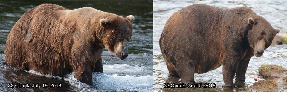 32 Chank, outro urso da votação (Foto: Katmai National Park & Preserve )