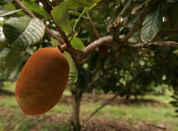 O cupuaçu é um fruto típico do norte do Brasil (Foto: Thinkstock)