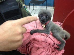 Filhote de macaco foi encontrado acorrentado em Porto Velho (Foto: Matheus Henrique/ G1)