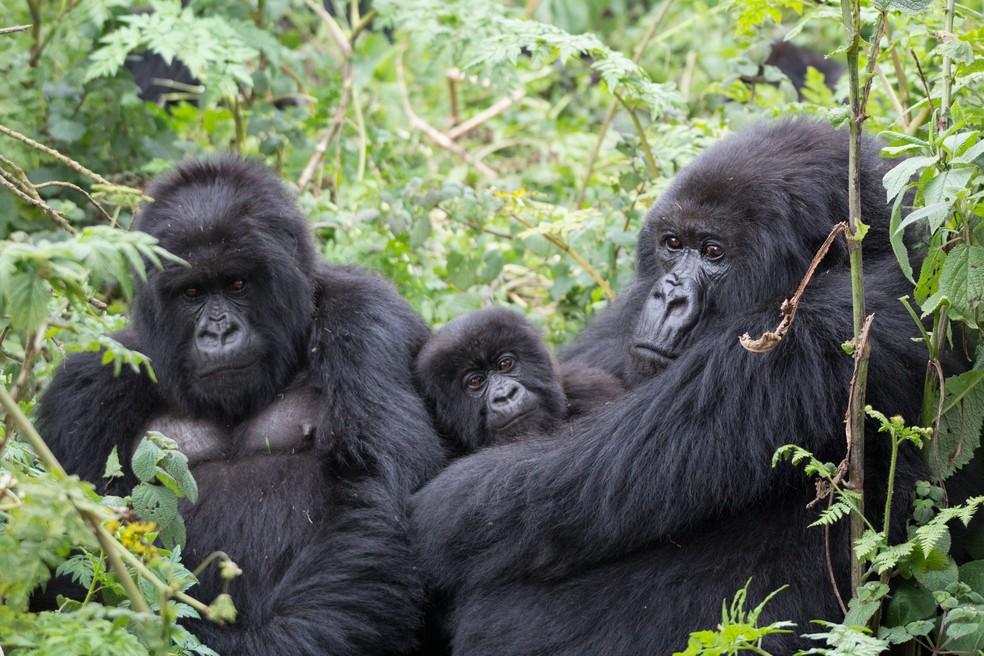 Machos de espécie encontrada em Ruanda dedicam bastante tempo cuidando dos filhotes da comunidade, sendo eles de sua prole ou não — Foto: TIERRA SMILEY EVANS/UC DAVIS/BBC