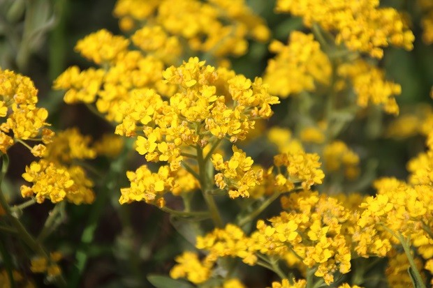 Golden Alyssum is a famous flower in the garden (Foto: Getty Images/iStockphoto)