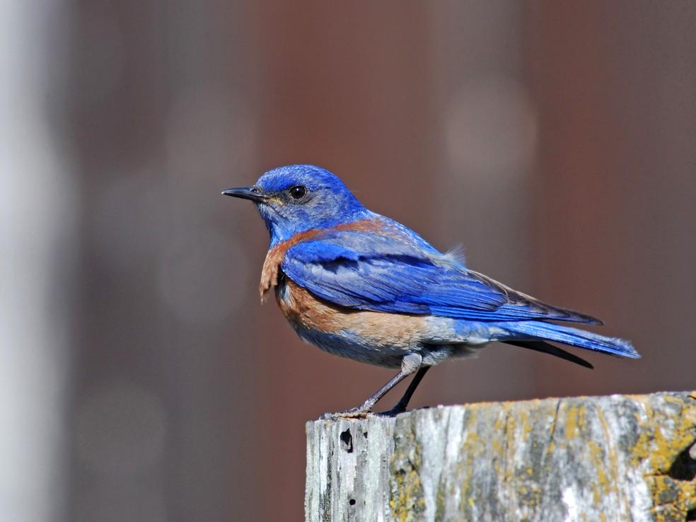 A Sialia Mexicana (Azulejo de Garganta Azul) foi um dos pássaros analisados no estudo (Foto: Dave Keeling)