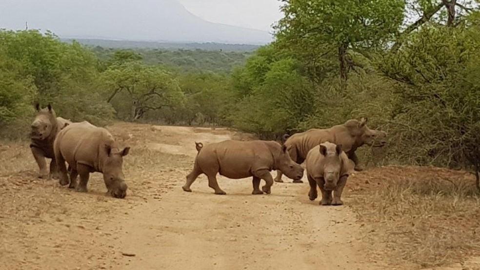 Animais formaram um grupo e foram devolvidos à natureza, na África do Sul (Foto: Divulgação/Rhino Revolution)