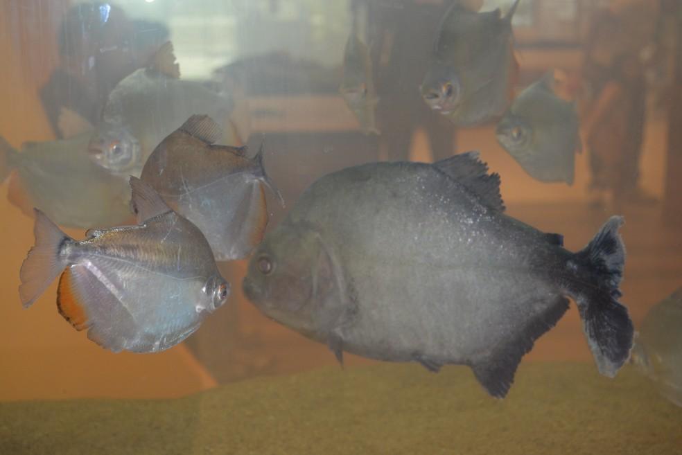 """As espécies Piranha-preta e Pacu-manteiga dividiram o mesmo aquário na exposição """"Peixes do Madeira"""", em Porto Velho — Foto: Hosana Morais/G1"""