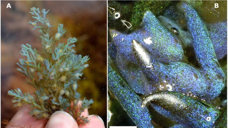 Alga-marinha brilhante (Foto: Science Advances)