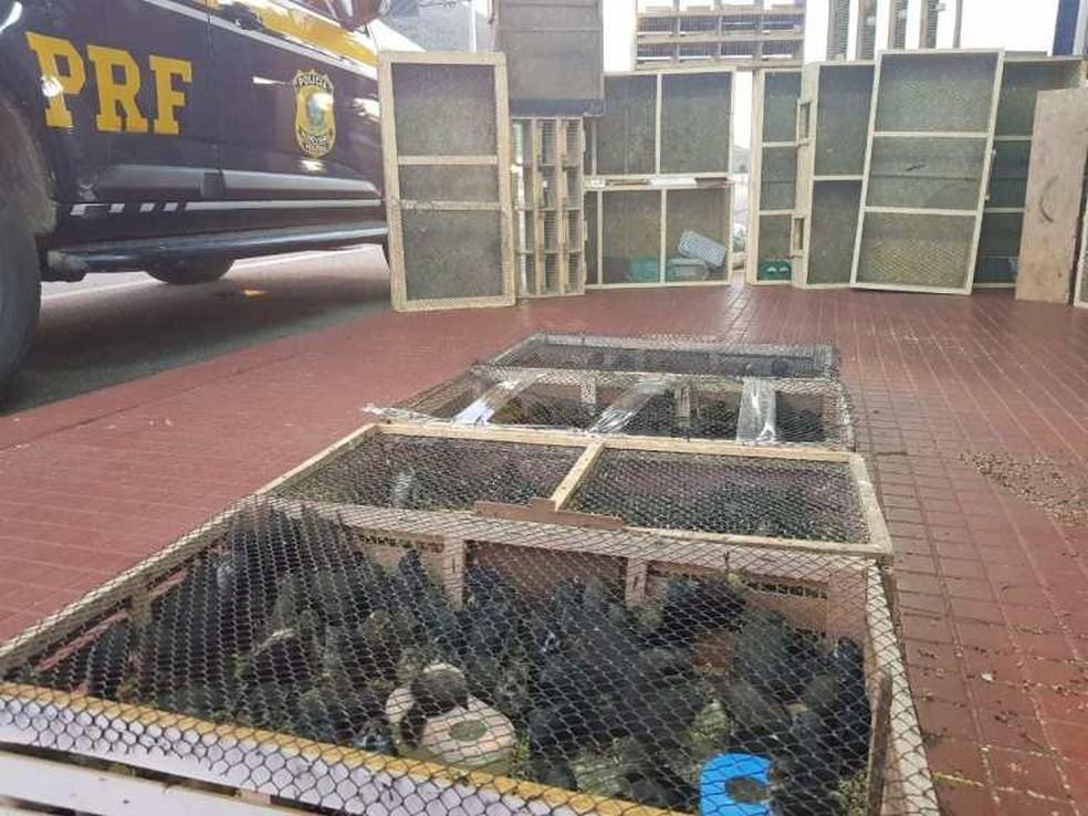 Animais seriam vendidos a R$ 35 cada um  — Foto: Polícia Rodoviária Federal
