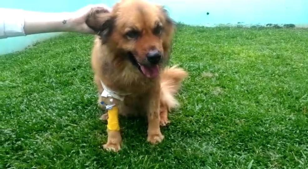 Cachorro  baleado ao reagir contra assaltante foi levado para uma clínica veterinária, onde passou por cirurgia e se recupera bem, segundo os veterinários — Foto: Divulgação