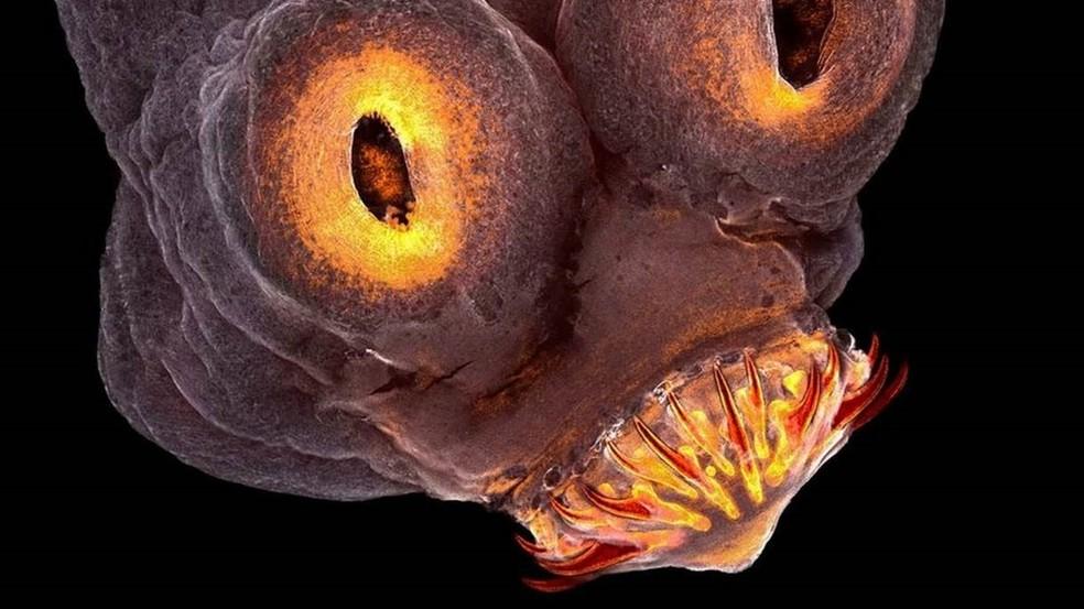 A cabeça de uma tênia, verme que pode parasitar vários animais, inclusive o homem — Foto: TERESA ZGODA/Royal Photographic Society