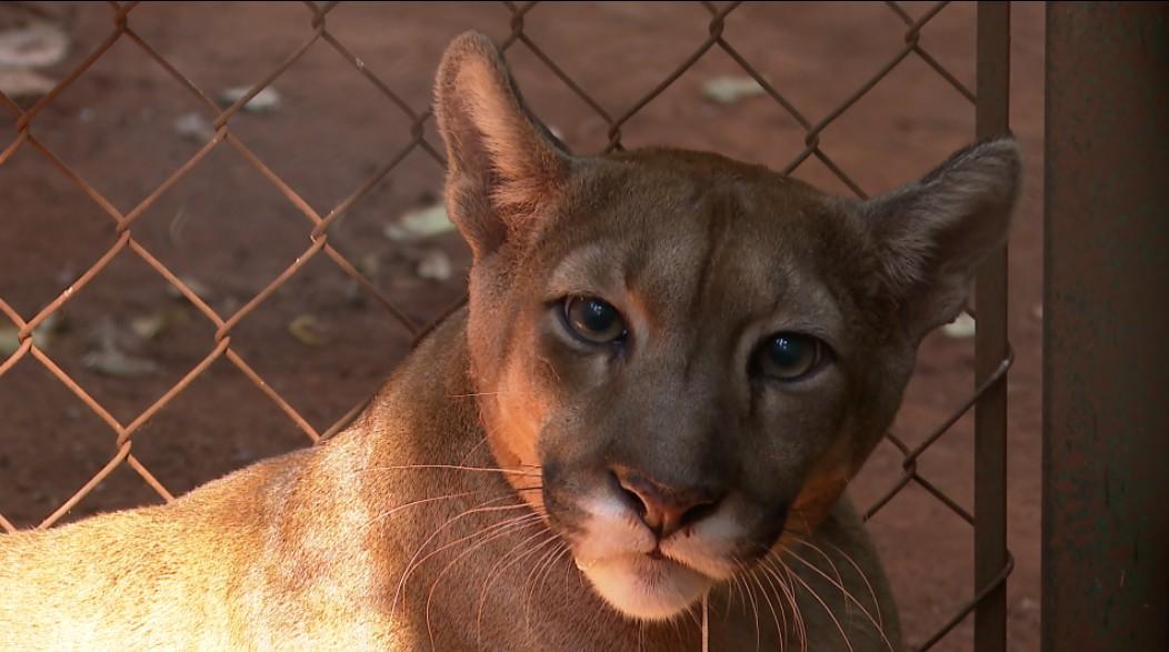 Exames em onça parda mobilizam força-tarefa no zoológico de Guaíra, SP