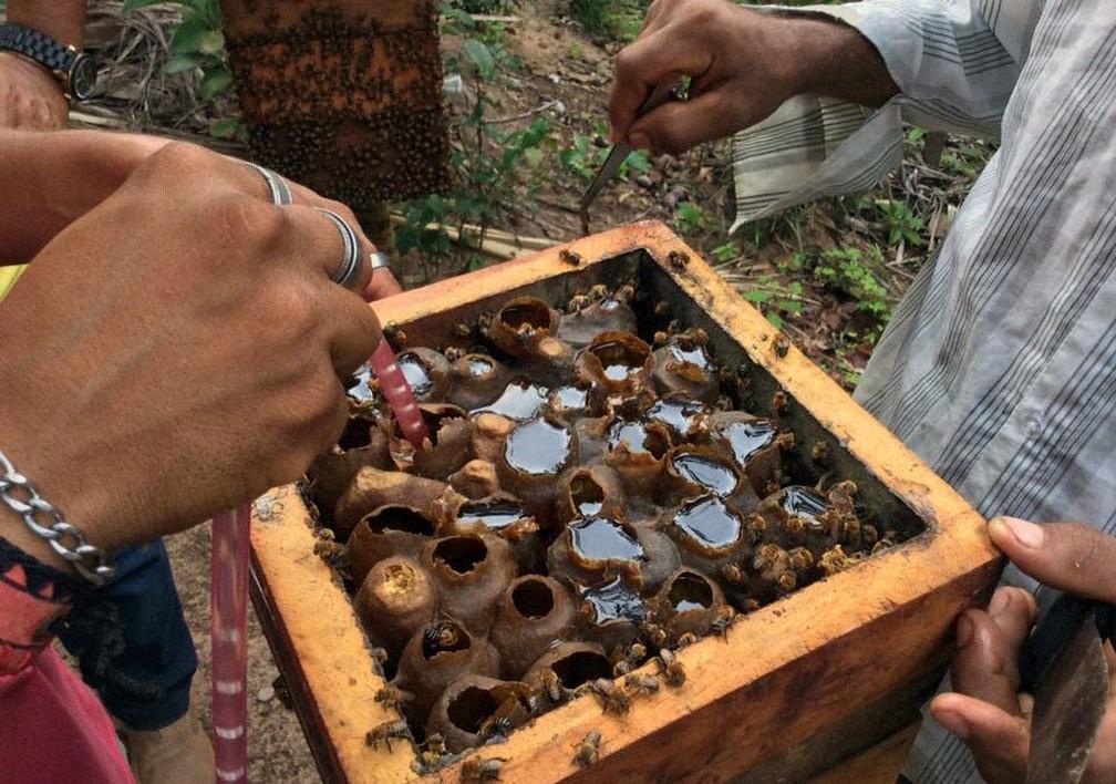 Extração de mel da melgueira com máquina no meliponário de Costa do Sauípe — Foto: Meliponário Costa do Sauípe/ Divulgação