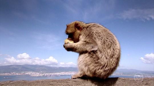 Conheça Gibraltar, território dos últimos macacos selvagens da Europa