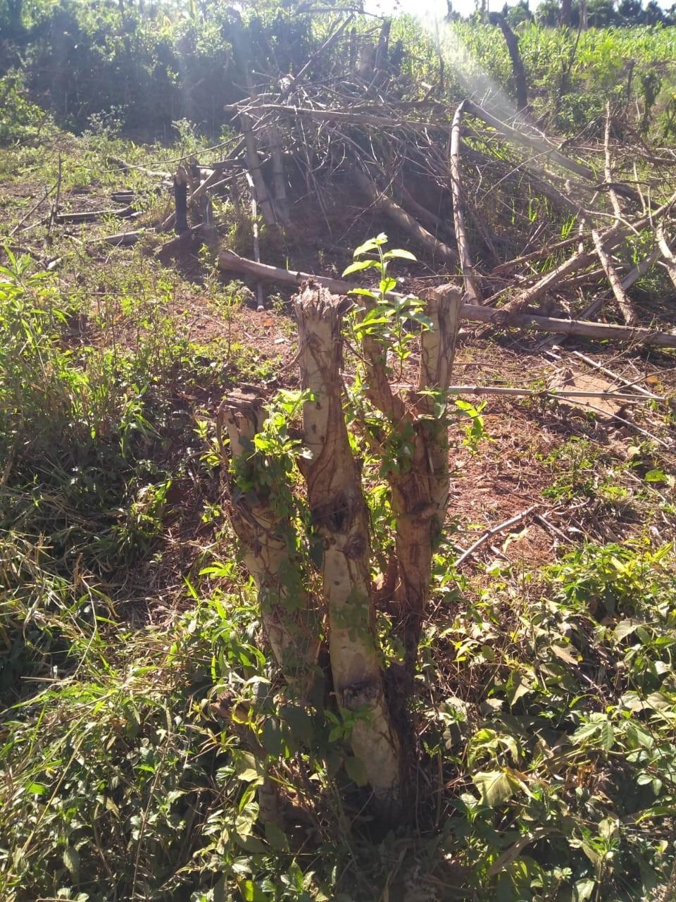 Dono de propriedade rural é multado em quase R$ 8 mil por corte ilegal de árvores em Paraguaçu Paulista