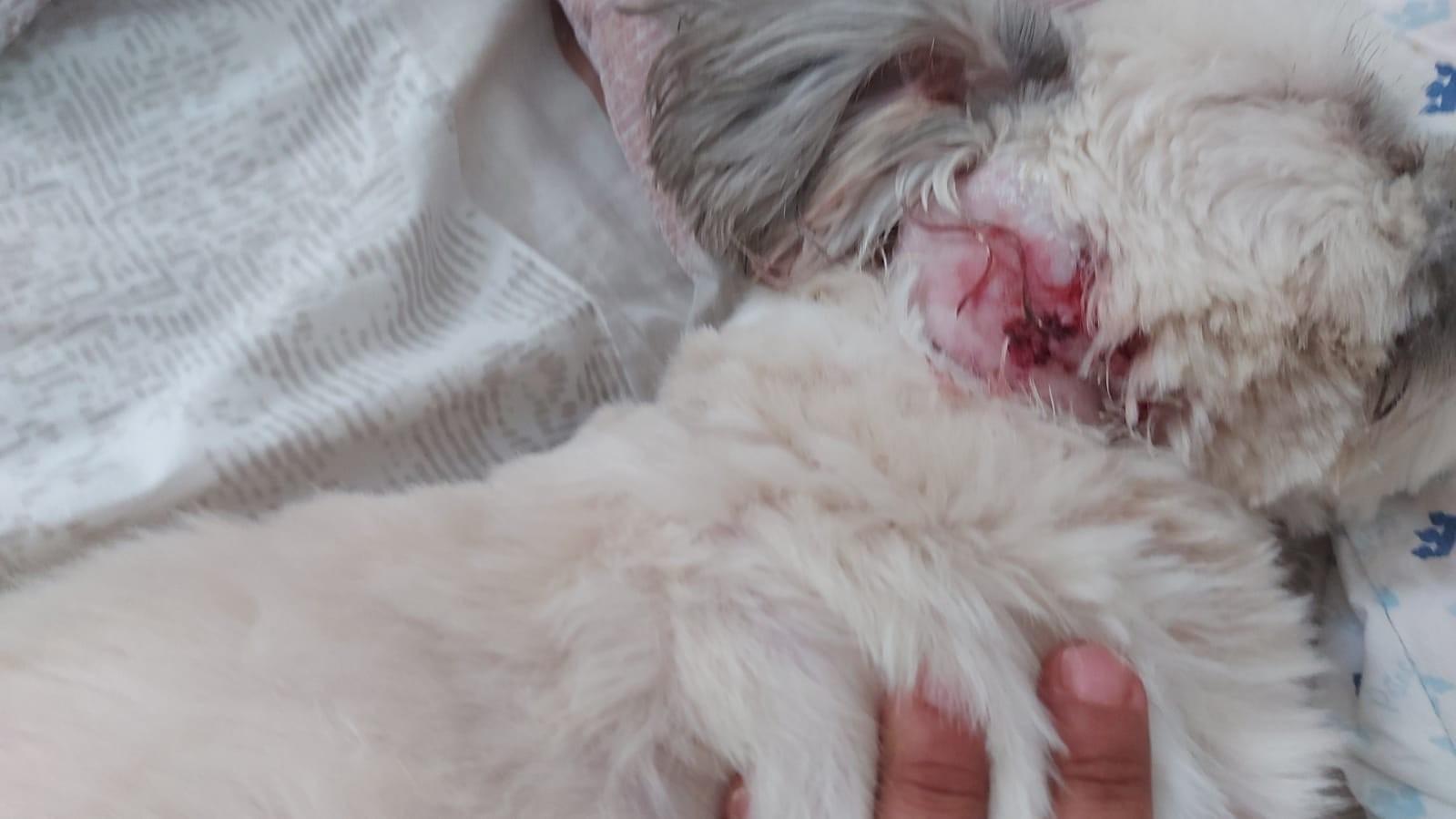 Funcionário de pet shop é indiciado por maus-tratos a cão durante banho e tosa em Macapá