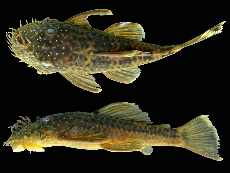 Uma das novas espécies descobertas chamada de Ancistrus kellerae (Foto: Jonathan W. Armbruster/ Reprodução)