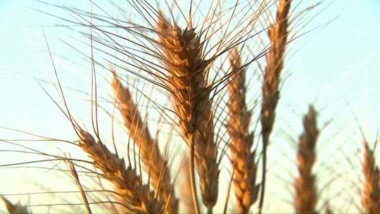 Agricultores plantam 46% do trigo no Paraná