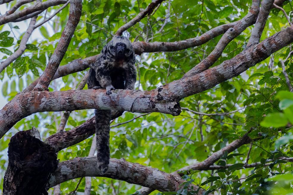 O macaco-parauacu foi descrito somente em 2014. (Foto: Marcelo Ismar Santana/VC no TG)