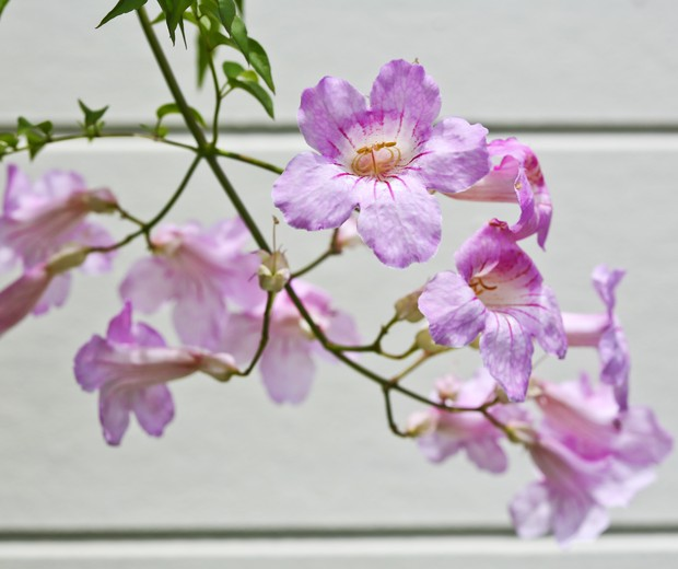 Pink Chinese trumpet creeper (Podranea) flowers against white wall (Foto: Getty Images)