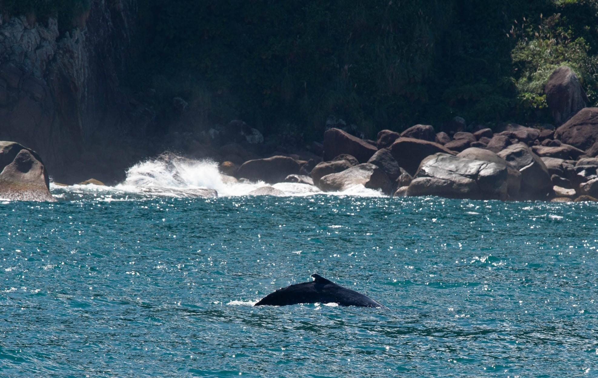 Baleia jubarte de nove metros é flagrada em Ilhabela, SP