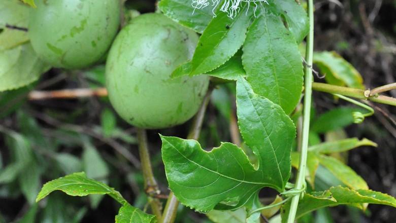 maracujazeiro-maracujá (Foto: ARNO974/Wikimedia Commons)