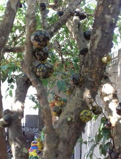 gr-responde-jabuticaba-amarela-fungo (Foto: Maico Silvestre/Arquivo Pessoal)