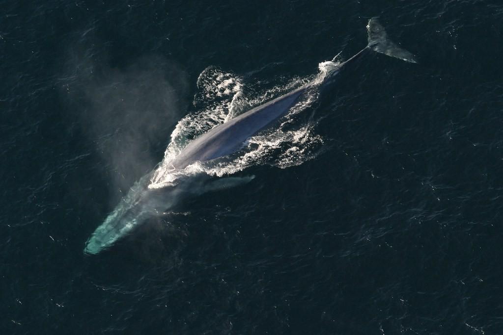 Cientistas medem batimentos de baleia azul pela primeira vez (Foto: Flickr/Creative Commons)