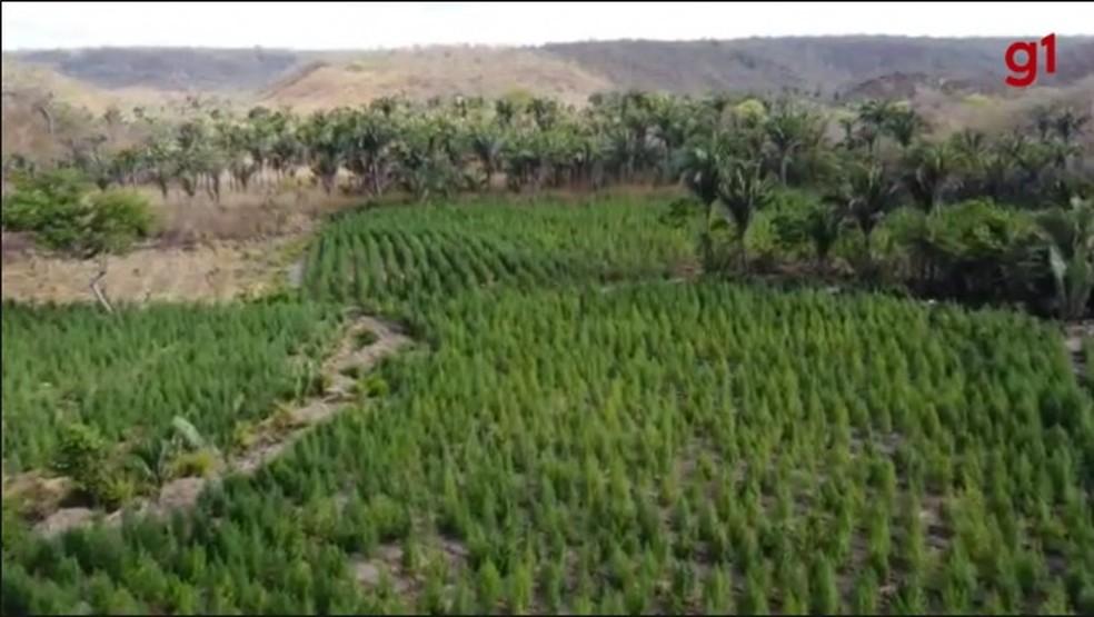 Plantação de maconha encontrada pela Polícia Civil do Piauí no MA — Foto: Divulgação/PC-PI