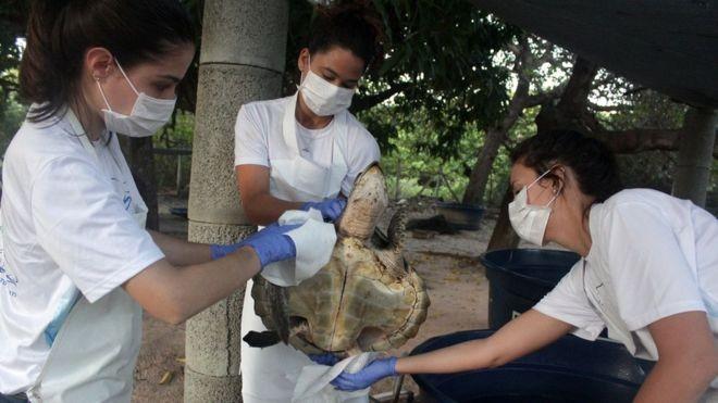 Detergente, maionese e aulas de natação: a saga das tartarugas sujas de óleo para voltar ao mar - Notícias - Plantão Diário