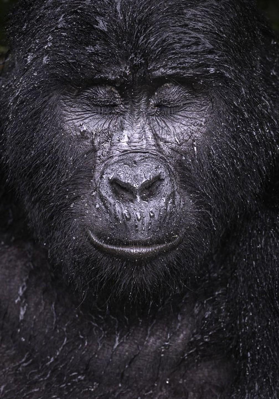 Foto mostra o gorila Kibande enquanto uma chuva refrescante começa a cair — Foto: MAJED ALI/WPY