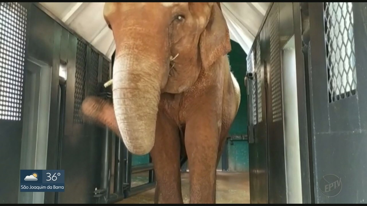 Elefanta Bambi deve chegar ao Mato Grosso neste sábado (26)