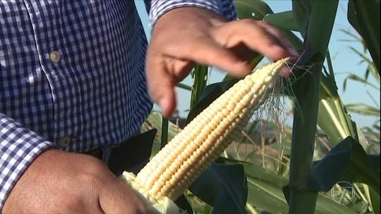 Seca e ventos fortes comprometem a produção de milho no Paraná