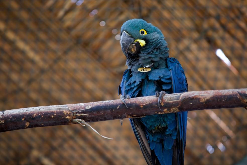 Arara-azul-de-lear em cativeiro em imagem de janeiro de 2019 — Foto: Marcelo Brandt/G1
