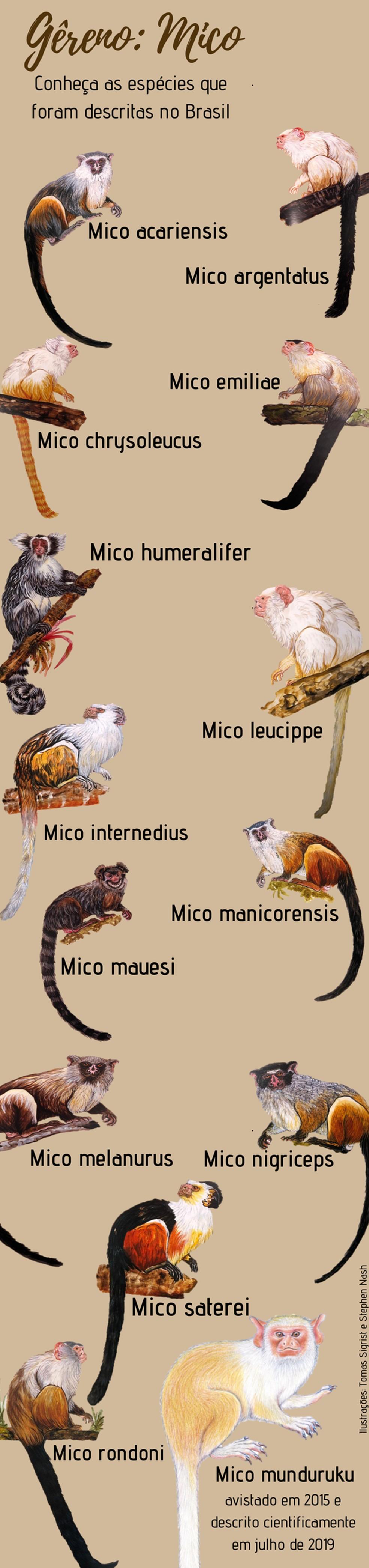 Com a descoberta do novo sagui, o gênero conta com 14 espécies — Foto: Arte TG