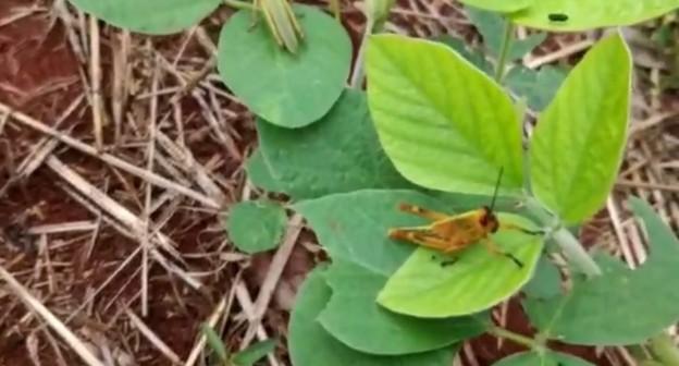 VÍDEO: Gafanhotos atacam plantações de soja no RS