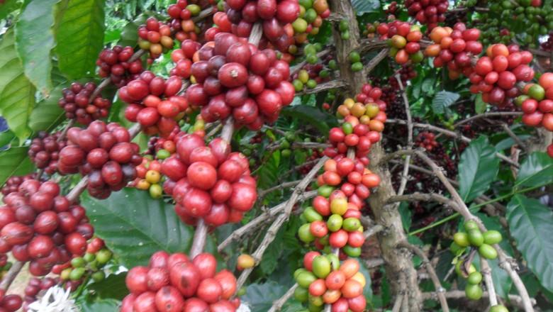 cafe-apui-agroflorestal (Foto: Idesam)