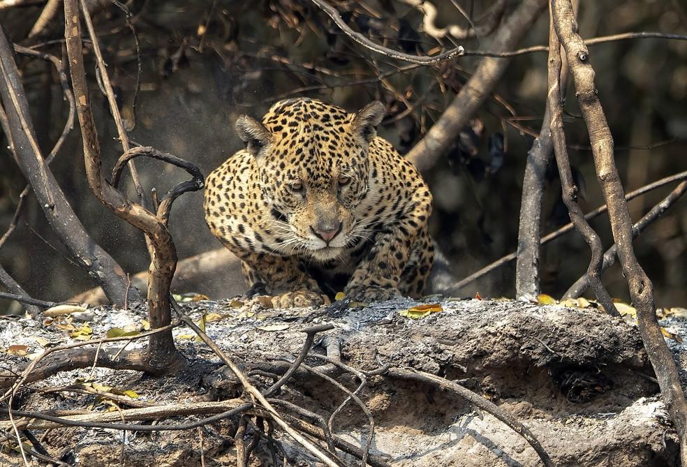 Onça-pintada é vista em área recentemente queimada no Parque Estadual Encontro das Águas, no Pantanal — Foto: Andre Penner / AP Photo
