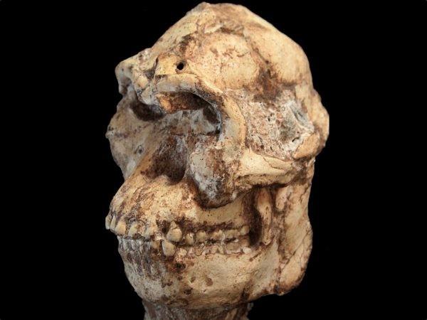 Crânio do pé-pequeno foi encontrado há 20 anos quase intacto (Foto: University of the Witwatersrand)