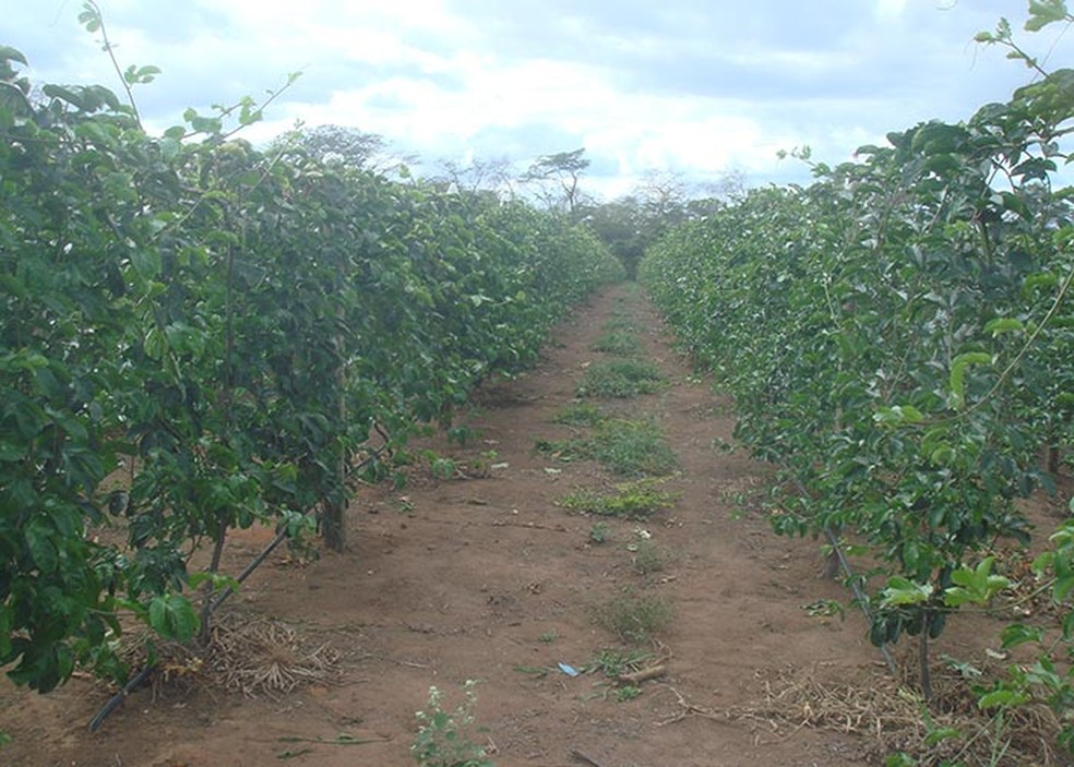 Plantação de maracujá — Foto: Raul Castro