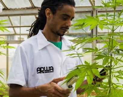 Plantio de maconha na UFV, em Viçosa (MG)