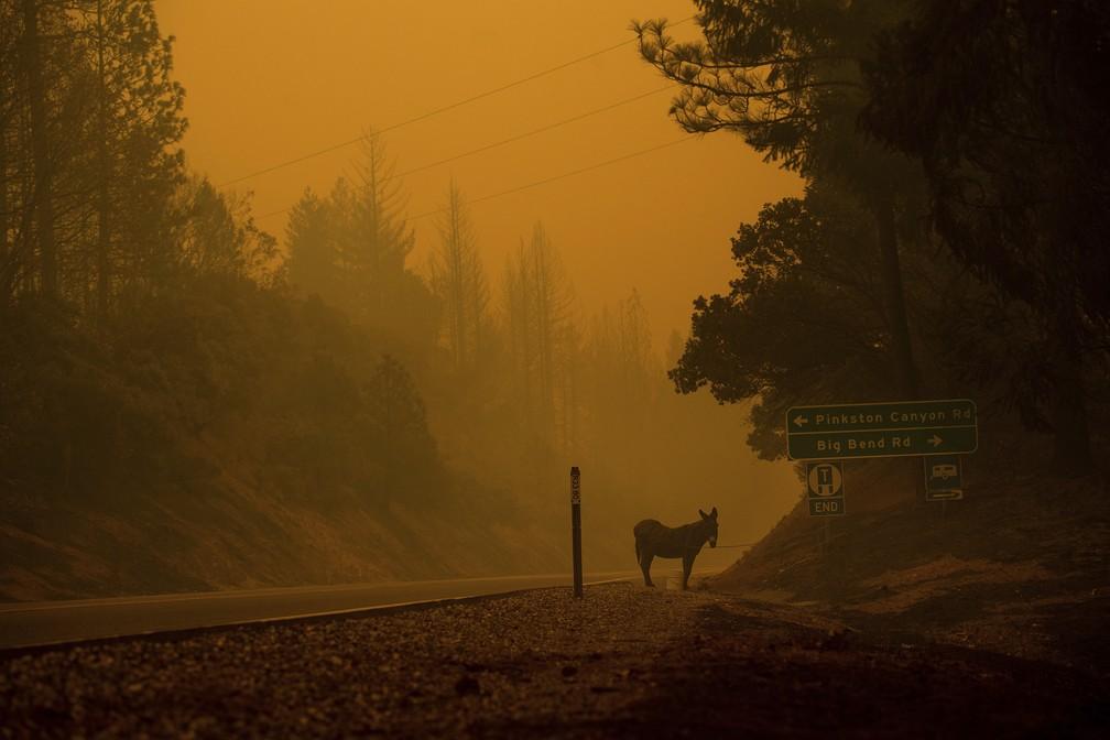 Burro amarrado próximo a rodovia em chamas no norte da Califórnia — Foto: Noah Berger/AP Photo