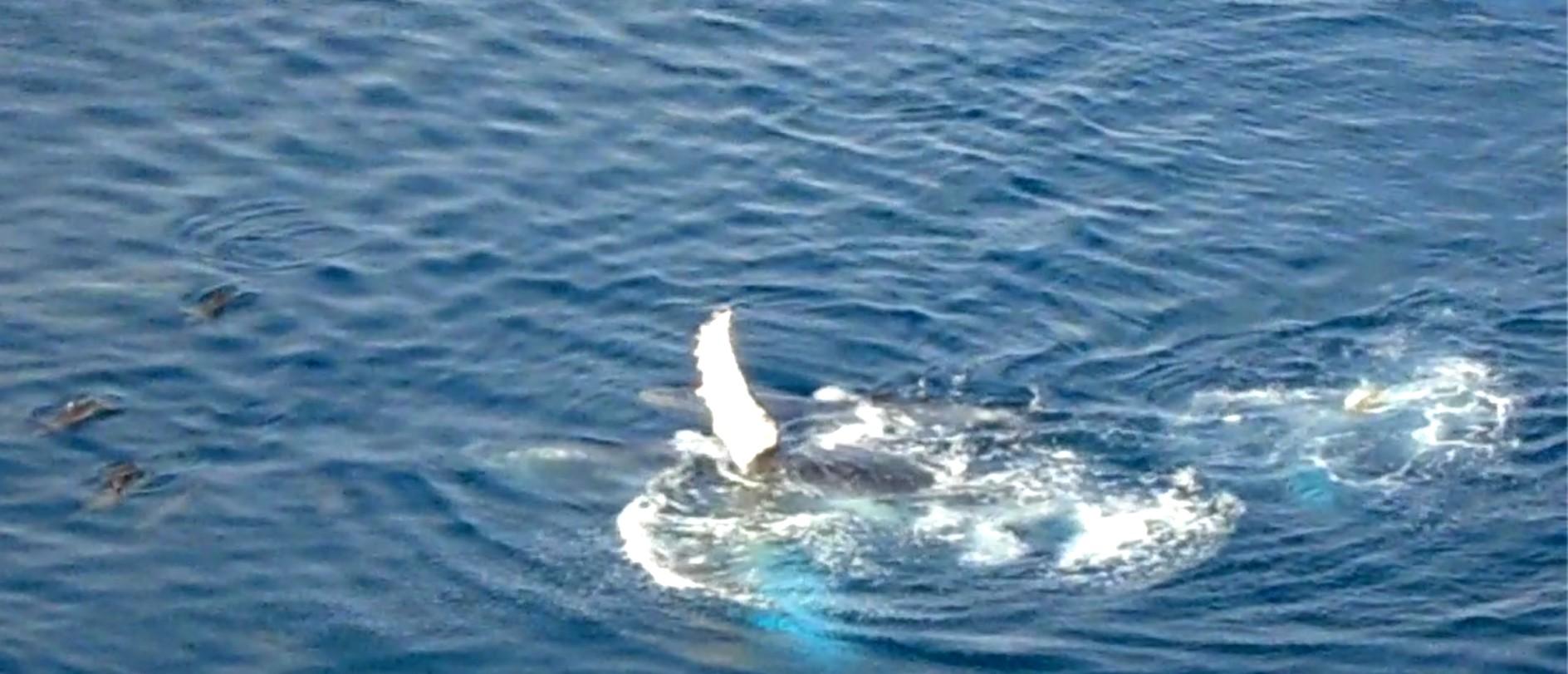Pesquisadores identificam relação de conflito entre golfinhos e baleias em Noronha