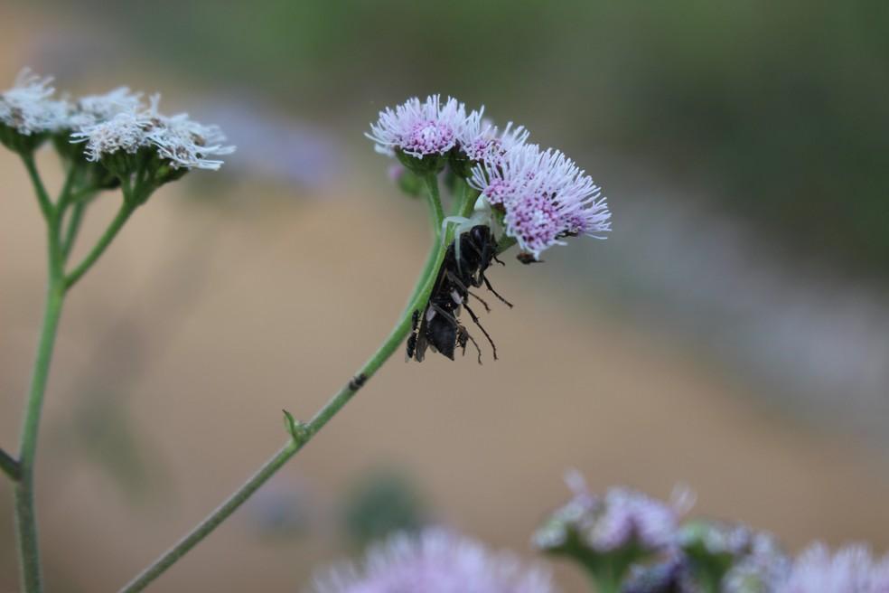 Aranha escondida em flor transporta abelha entre as presas (Foto: Marília Marques)