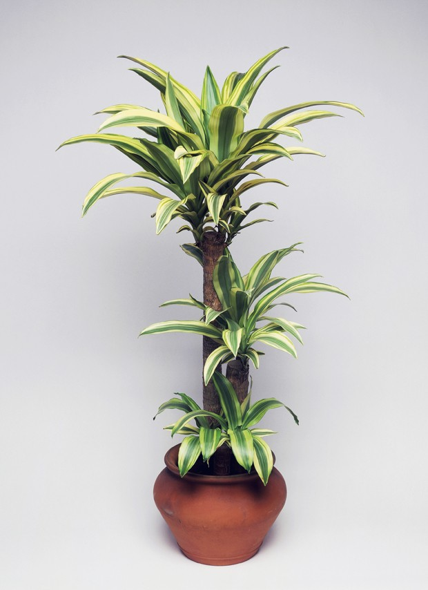 UNSPECIFIED - JANUARY 27: Forest dracaena (Dracaena deremensis or Dracaena fragrans lindeni), Asparagaceae. (Photo by DeAgostini/Getty Images) (Foto: De Agostini via Getty Images)