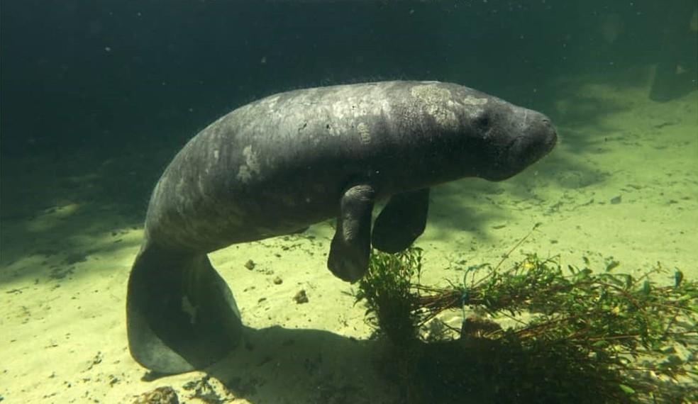 Peixe-boi marinho, espécie que é encontrada na área da Reserva Extrativista de Cururupu.  — Foto: Instituto Bicho D'água.