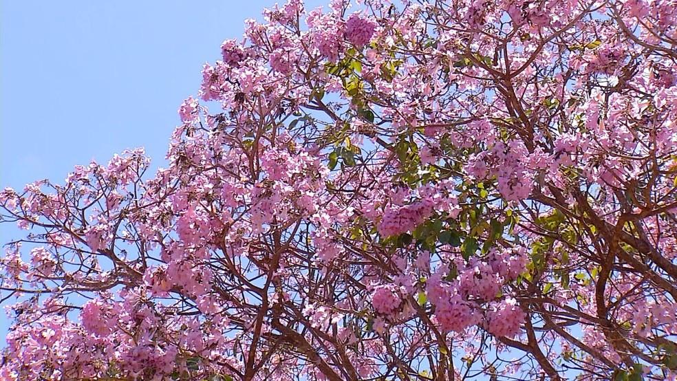 Ipês-roxos florescem e enfeitam paisagem entre julho e agosto no RN (Foto: Reprodução/Inter TV Costa Branca)