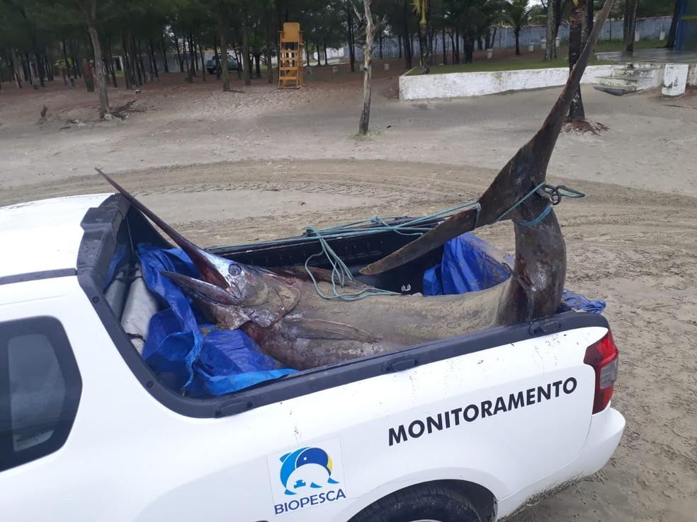 Agulhão-negro de mais de 200 kg foi encontrado em praia de Itanhaém, SP — Foto: Divulgação/Instituto Biopesca