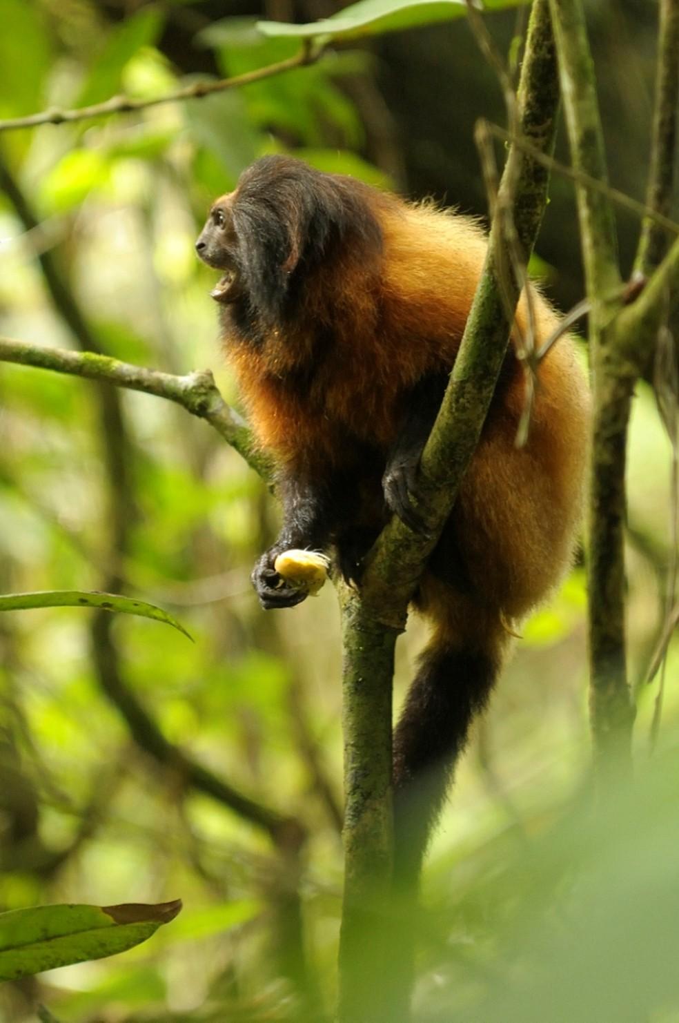 Mico-leão-da-cara-preta — Foto: Celso Margraf