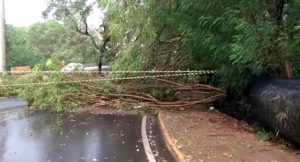 Árvore caiu em avenida de Araçatuba — Foto: Arquivo pessoal